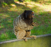A tiny mischievious monkey in florida Royalty Free Stock Image