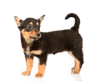 Tiny mixed breed puppy dog in full height.  on white Royalty Free Stock Photography
