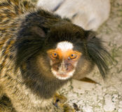 A tiny monkey Stock Photos