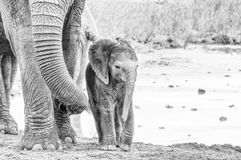 Tiny monochrome African elephant calf royalty free stock image