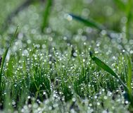 Tiny morning dewdrops on the grass. Tiny dewdrops on the green grass Royalty Free Stock Image