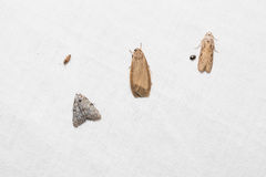 Tiny moths on white screen Stock Photo
