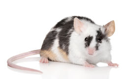 Tiny mouse on white background royalty free stock photography