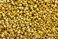 Tiny mung bean sprouts Royalty Free Stock Image