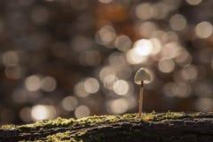 A tiny mushroom in the sunlight Royalty Free Stock Photos