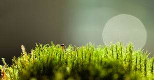 Tiny mushroom hidden in moss Royalty Free Stock Image