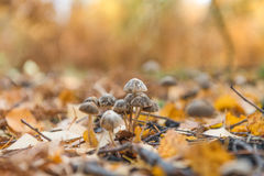 Tiny mushrooms in the forest. A group of tiny wild mushrooms between the yellow leaves Stock Photos