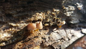 Tiny mushrooms. Growing inside tree Royalty Free Stock Images