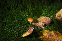 Tiny mushrooms in moss at dark green background Stock Images