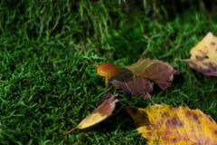 Tiny mushrooms in moss at dark green background Royalty Free Stock Photo
