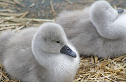 Tiny Mute Swan cygnets resting in their nest Royalty Free Stock Photography