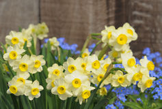 Tiny narcissuses Royalty Free Stock Image