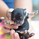 Tiny newborn black chihuahua being held in hand Royalty Free Stock Photo