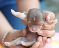 Tiny newborn brown chihuahua being held in hand Stock Photography