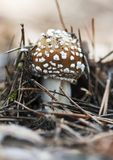 Tiny newborn mushroom amanita in the pine forest. Closeup of tiny newborn mushroom amanita in the pine forest, shallow depth of field Royalty Free Stock Photo