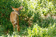 Tiny Nyala. Image Taken at The Kragga Kamma Game Park royalty free stock photo