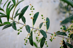 Tiny olives on the branch. Tiny olives forming on the branch Stock Photos