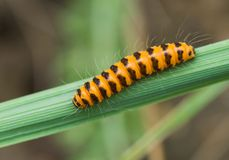 Tiny orange caterpillar with black stripes Royalty Free Stock Image