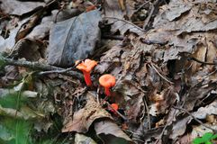 Orange Mushrooms in Leaves. Tiny orange mushrooms nestled in brown leaves, found in the North Georgia mountains in the foothills of the Appalachians stock photography