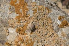 Pink Landsnail on Orange Lichens royalty free stock photo