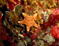 Tiny orange starfish. Macro shot of a tiny royalty free stock images