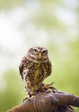 Tiny owl. A tiny owl sits on the leather glove of its owner and watches its spectators royalty free stock photography