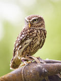Tiny owl. A tiny owl sits on the leather glove of its owner and watches its spectators Royalty Free Stock Images