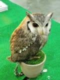 Tiny Owl. Royalty Free Stock Photography