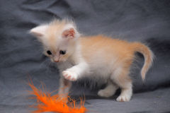 Tiny peach  kitten Royalty Free Stock Image