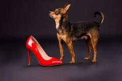 Tiny pedigreed dog and red stiletto. Royalty Free Stock Photos