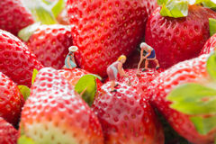 Tiny people - farmers working on strawberry field. Royalty Free Stock Image