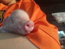 Tiny piglet in my arm. Cute sleep baby Royalty Free Stock Image