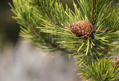 Tiny Pine Cone. A small and delicate pine cone Stock Photos