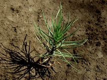 Tiny pine tree seedling Royalty Free Stock Photo