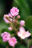 Tiny Pink Royalty Free Stock Photography