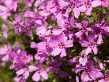 Tiny pink blossoms Stock Image
