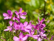 Tiny pink blossoms Royalty Free Stock Photography