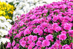 Tiny pink dahlias Stock Image