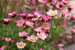 Tiny pink flowers Stock Images