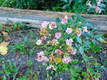 Tiny Pink Flowers. In garden bed royalty free stock photos
