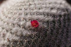 Tiny pink flowers on a round Mammillaria albilanata cactus. Blooms in the winter in California, United States Royalty Free Stock Images