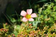 Tiny pink/peach color flower close-up in a field. Growing on the ground stock photo
