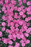 Pink sweet william flowers Stock Photo