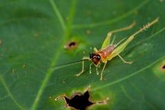 Tiny pinkish cricket Stock Photography