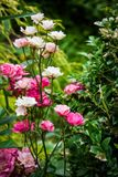 Tiny pinkish white roses. In the garden royalty free stock photos
