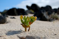 A Tiny Plant Grows In The Sand On A Volcanic Island. It's amazing how plants are able to grow and development in the simplest environments Royalty Free Stock Photos