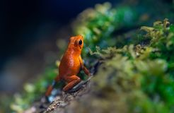 Tiny poisoned red frog on a wet forest stock photography