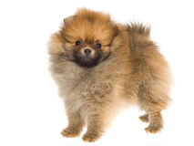 Tiny Pomeranian puppy on white background Royalty Free Stock Images