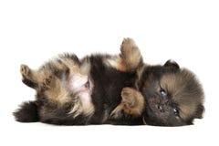 Tiny Pomeranian Spitz puppy resting Royalty Free Stock Image