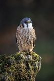 Tiny Predator. Closeup of an American Kestrel perching on a mossy rock Royalty Free Stock Image